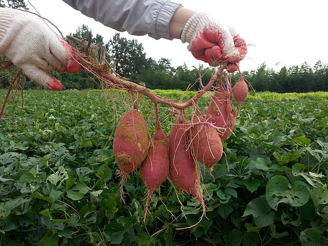 brambory sladké