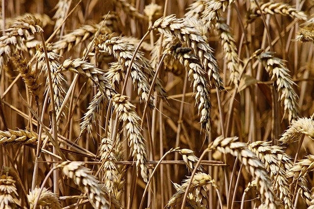 Obilniny, pšenica.jpg
